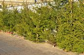 Fresh Balsam Fir Christmas Trees For Sale On The Fir Market. Choose The Perfect Christmas Tree. poster