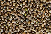 Close Up. Many Cannabis Seeds. Macro Detail Of Marijuana Seed. Organic Hemp Seed. Hemp Seeds Backgro poster