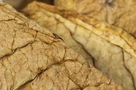 stock photo of tobaco leaf  - Dried tobacco leaves fine details closeup  - JPG