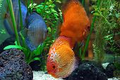picture of diskus  - diskus fish in a tank - JPG