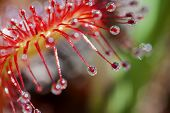Round-leaved sundew - top view