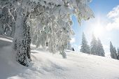 stock photo of conifers  - Sunshine and pine tree covered in snow on winter season - JPG