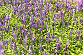 pic of blue-salvia  - Meadow with blooming Blue Salvia herbal flowers - JPG