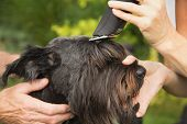 stock photo of schnauzer  - Cutting a head of big black schnauzer dog by machine - JPG