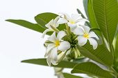 foto of champa  - Beautiful white flower in thailand Lan thom flower