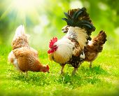 stock photo of pasture  - Rooster and Chickens - JPG