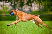 foto of toy dogs  - german boxer breed dog with a toy - JPG