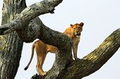 stock photo of lioness  - A lioness (Panthera Leo) on a tree in Serengeti National Park Tanzania