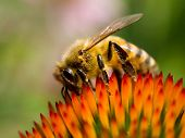 Bee on coneflower.