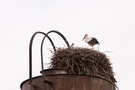 foto of shadoof  - Shadoof guards their chicks in the nest - JPG