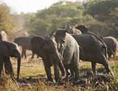 pic of wallow  - An African elephant herd  - JPG