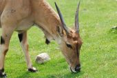 image of eland  - Eland antelope eating grass on a field - JPG