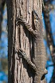 pic of goanna  - Lace Monitor clinging to Red Stringybark Tree in Chiltern Forest - JPG