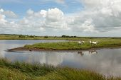 stock photo of marsh grass  - White ponies stand on a patch of grass land surrounded by water on marsh land with a blue cloudy sky in the distance - JPG
