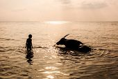 picture of sea cow  - silhouettes of a boy and buffalo bathing in the sea in back lighting - JPG