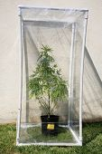 picture of gases  - A Genuine Medical Marijuana plant being grown in its own personal green house outside - JPG