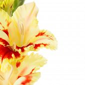 pic of gladiolus  - Beautiful fresh red annd yellow gladiolus isolated  - JPG