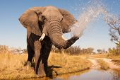 foto of herbivore animal  - Wild African elephant spraying water out of it trunk - JPG