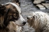 stock photo of mongrel dog  - A mongrel dog and a Havanese dog will clarify who and when and where should the water - JPG