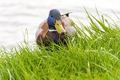 picture of male mallard  - Male mallard or wild duck  - JPG