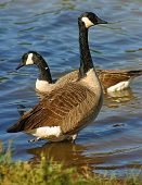 stock photo of honkers  - A canada goose in shallow water - JPG