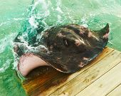picture of stingray  - Big stingray emerges from water - JPG