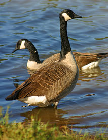 pic of honkers  - A canada goose in shallow water - JPG