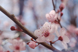 stock photo of cherry blossoms  - cherry blossoms - JPG