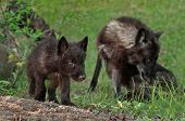 foto of lupus  - Black Wolf Pup  - JPG