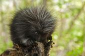 image of nocturnal animal  - Porcupette  - JPG