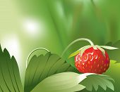 pic of strawberry plant  - Vector illustration of ripe red strawberry on its plant in nature - JPG