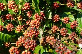 stock photo of coffee coffee plant  - Coffee tree with coffee bean on cafe plantation cafe is main plant at basalt soil like Bao Loc Lam Dong Viet Nam and coffee is Vietnam agriculture product to export - JPG
