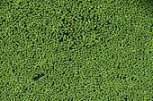 foto of common  - Common duckweed  - JPG