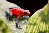 pic of poison arrow frog  - strawberry poison arrow frog - JPG