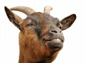 Cute Brown Goat's Grin