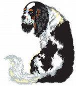 pic of lap  - tricolor blenheim cavalier king charles spaniel - JPG