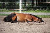 picture of brown horse  - Brown horse playfully rolling on the ground - JPG