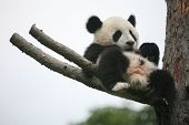 stock photo of panda  - Giant panda cub  - JPG