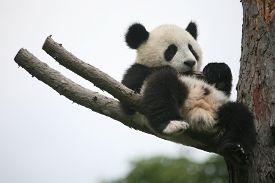 image of panda  - Giant panda cub  - JPG