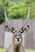 image of ram  - Close up portrait of an impala ram - JPG