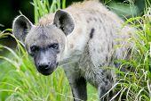 foto of hyenas  - Closeup Hyena animal wildlife on green nature background - JPG
