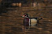 image of duck pond  - Male wood duck sitting on a small pond in midwest United States - JPG