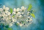 image of vegetation  - Beautiful blooming fruit tree - JPG