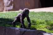 image of gorilla  - new baby gorilla at the zoo walking on fresh spring grass - JPG