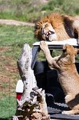 image of annoying  - Adult male lion laying on top of a car getting annoyed by a cub - JPG