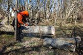 picture of man chainsaw  - Worker cuts a big tree trunk with a chainsaw - JPG