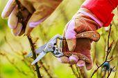 picture of prunes  - Spring pruning roses in the garden - JPG