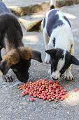 foto of stray dog  - Thai Puppy Stray Dog Eating  - JPG