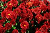 stock photo of hayride  - Beautiful rust colored chrysanthemums on a beautiful fall day - JPG