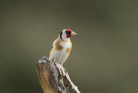 image of goldfinches  - Goldfinch - JPG